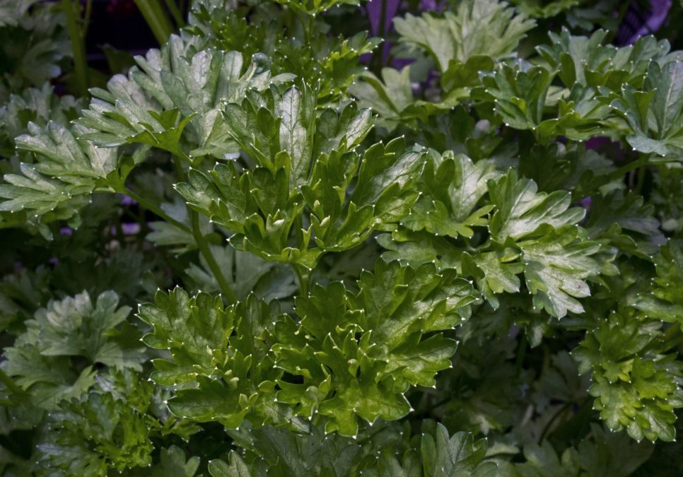 Some delicious flat-leaf Italian parsley to look at.