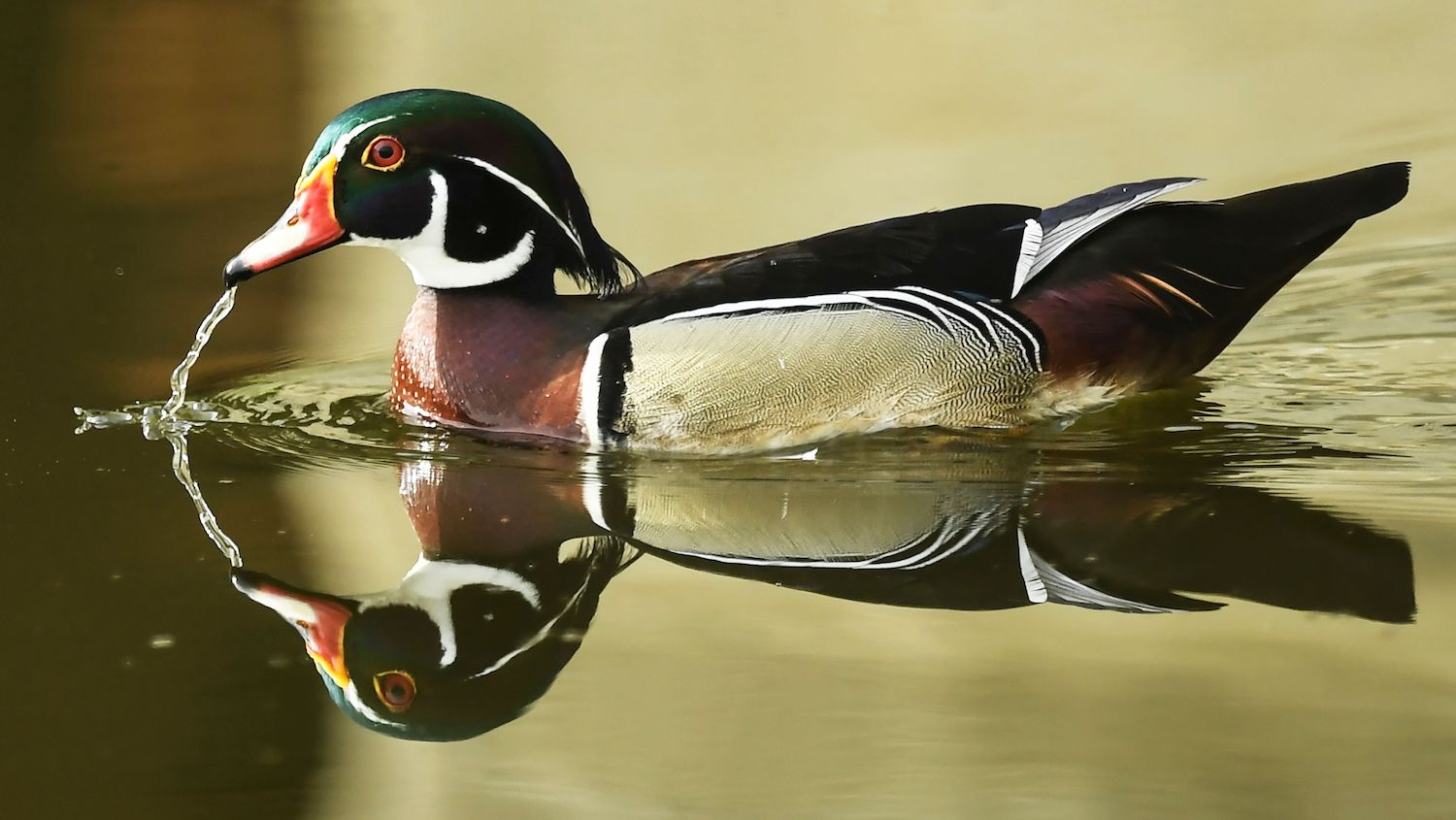 TOPSHOT - A wood duck or Carolina duck, a species of perching duck found in North America, is seen in a pond at the Ghosh Para area of Howrah District near Kolkata on August 11, 2020. (Photo by Dibyangshu SARKAR / AFP) (Photo by DIBYANGSHU SARKAR/AFP via Getty Images)