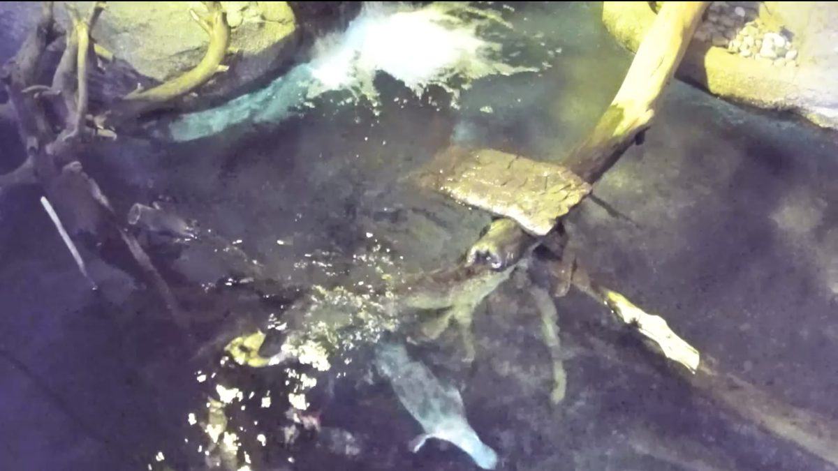 A platypus swims in the water at the San Diego Safari Park.