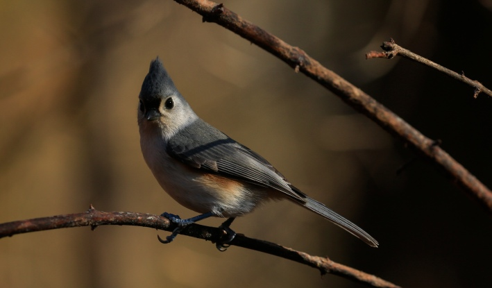 """A Tufted Titmouse stands on a branch as Robert DeCandido also known as """"Birding Bob"""" leads a group of bird watchers during a tour in Central Park, New York on November 29, 2020. - On a recent sunny morning in New York a few dozen people gathered in Central Park's wooded Ramble area with a common goal: zero in on an elusive owl. Autumn leaves crunch under their shoes as """"Birding Bob"""" -- a guide who has been organizing birdwatching tours in the park for more than three decades, with interest jumping since the coronavirus pandemic hit the city in March -- leads them along winding paths. (Photo by Kena Betancur / AFP) (Photo by KENA BETANCUR/AFP via Getty Images)"""