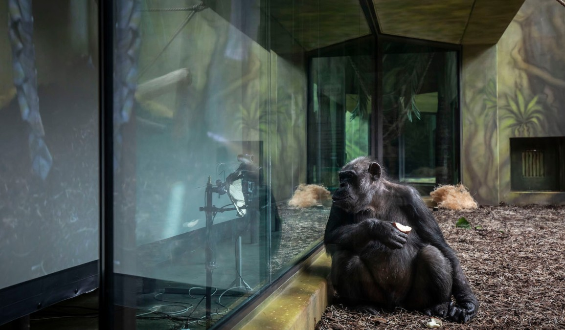 DVUR KRALOVE NAD LABEM, CZECH REPUBLIC - MARCH 19: A Chimpanzee watches a live-stream on a screen set up in an enclosure at the Safari Park on March 19, 2021 in Dvur Kralove nad Labem, Czech Republic. The park has set up live-stream broadcasting from the zoo in Brno to enrich the daily life of their chimpanzees amid lockdown. The Safari Park launched the experimental project to give the chimpanzees something to watch to give them some stimulation while crowds are not allowed to visit the zoo due to the coronavirus pandemic. (Photo by Gabriel Kuchta/Getty Images)
