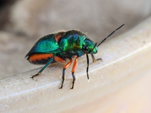 A lovely little Green Jewel Bug.