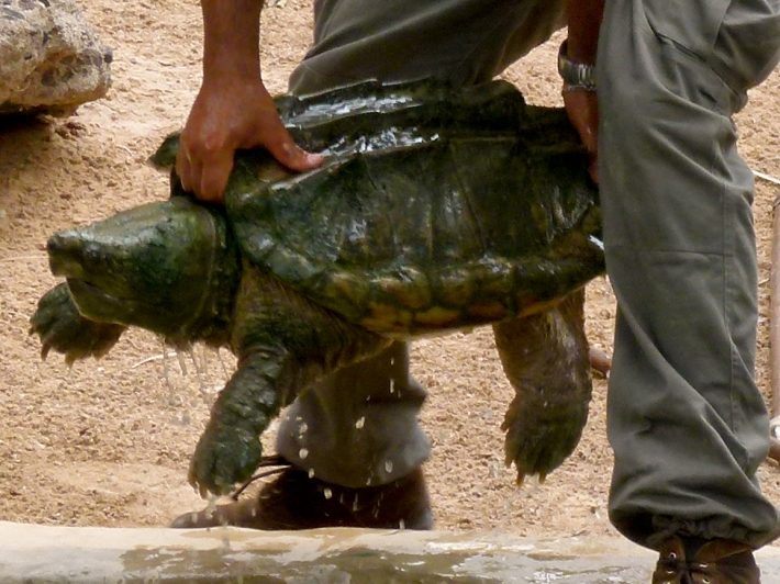 An alligator snapping turtle, which very obviously is not a lake creature.