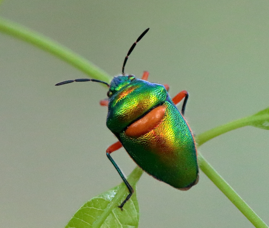 Another lovely little green jewel bug.
