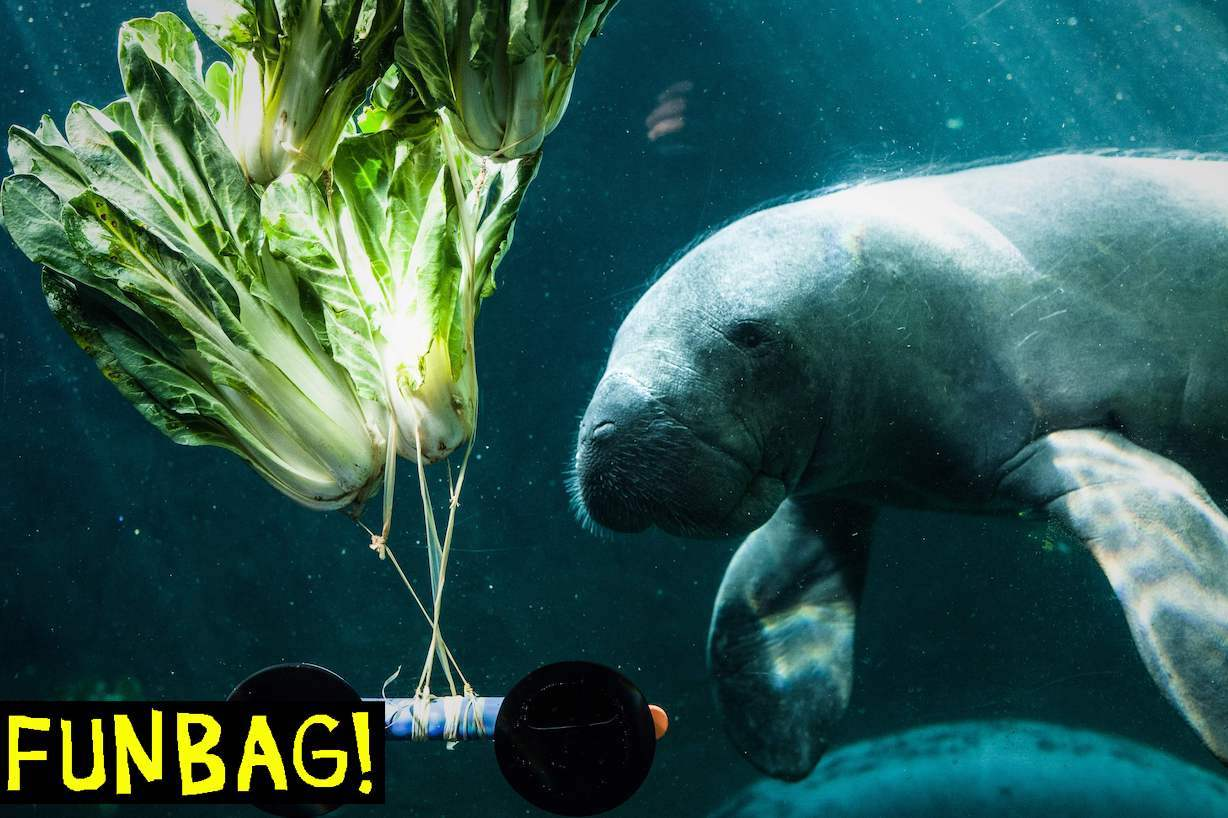 A manatee feeds on cabbage in the aquarium at the Vincennes zoological gardens (Parc zoologique de Vincennes) in Paris on April 4, 2019. - The zoo of Paris will celebrate five years since its reopening on April 12, 2019. (Photo by Philippe LOPEZ / AFP) (Photo credit should read PHILIPPE LOPEZ/AFP via Getty Images)