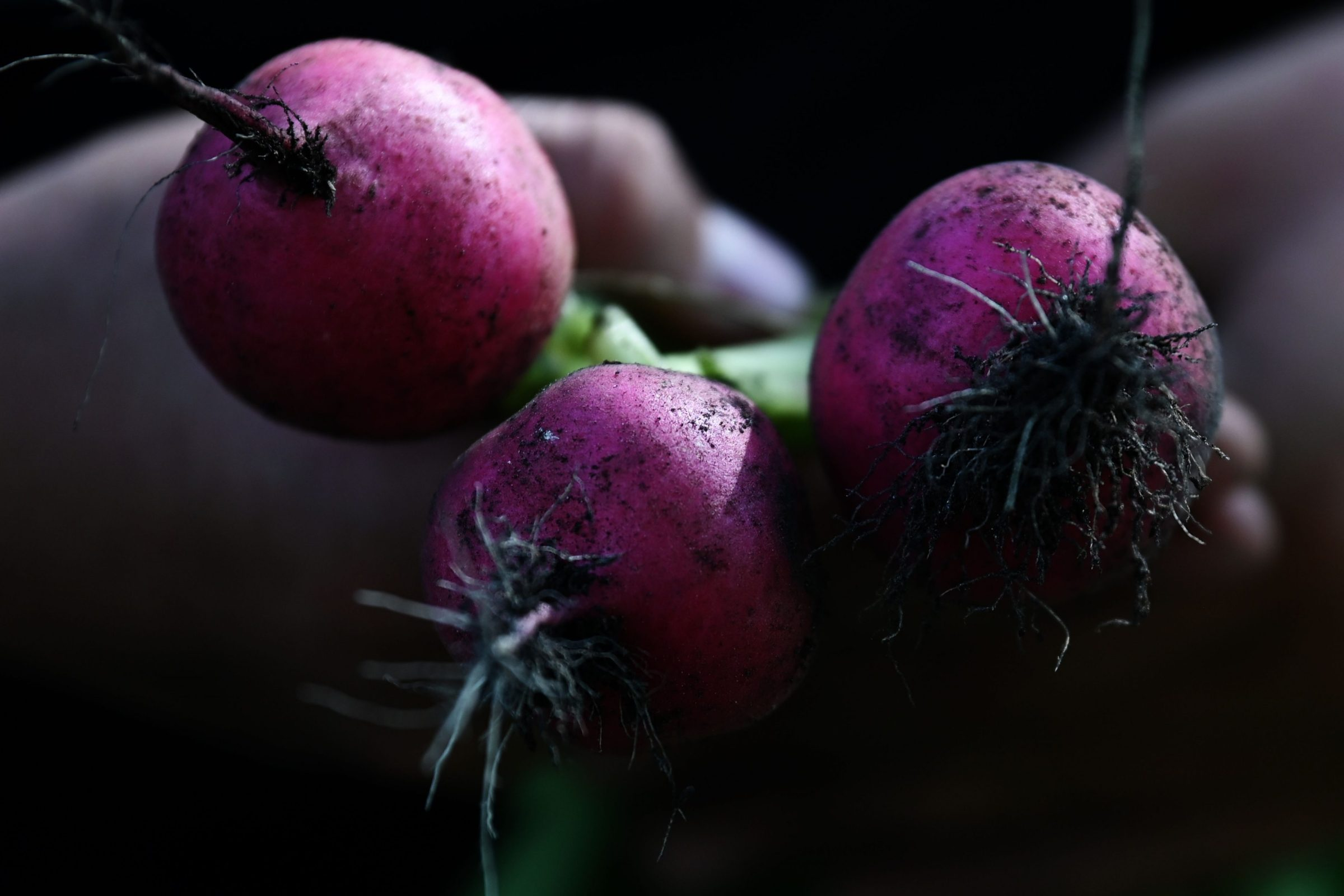 Some radishes, seen in close up.