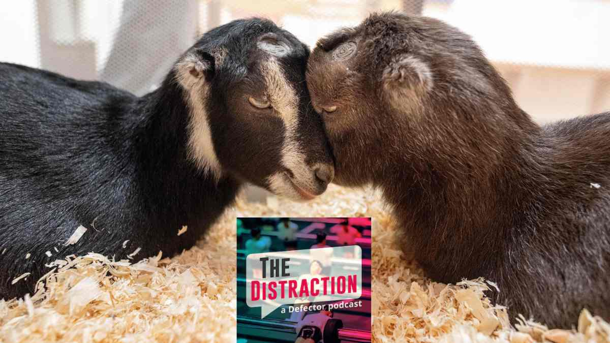 Two baby goats snuggling over The Distraction logo. It's all been leading up to this.