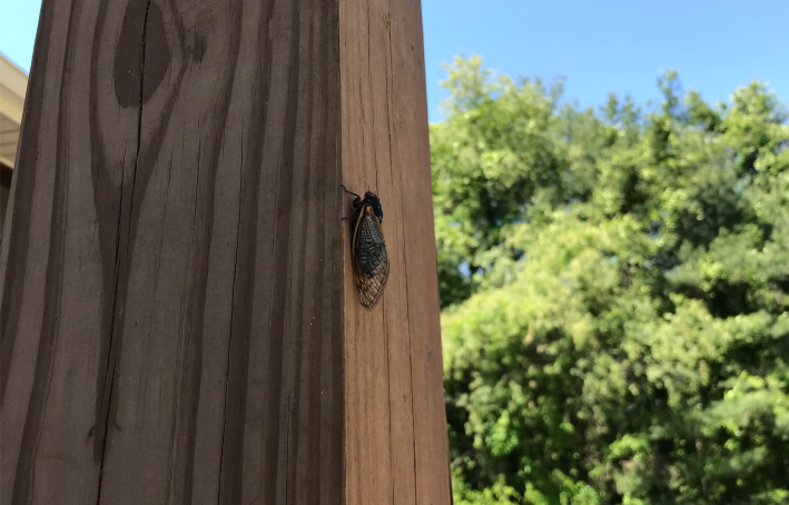 An early cicada from the 2021 brood.