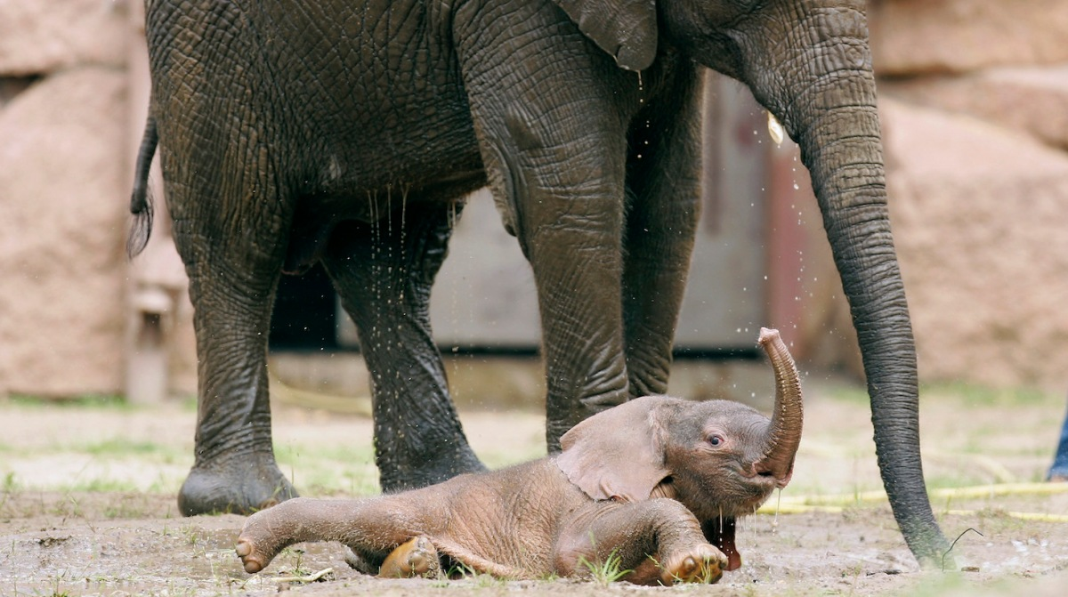 """BERLIN - MAY 23: Three days old nameless elephant baby plays with his fellow """"Tana"""" in his enclosure at the Zoological Garden (Tierpark) Berlin on May 23, 2007 in Berlin, Germany. The Zoological Garden presented today the new born elephant for the public. (Photo by Andreas Rentz/Getty Images)"""