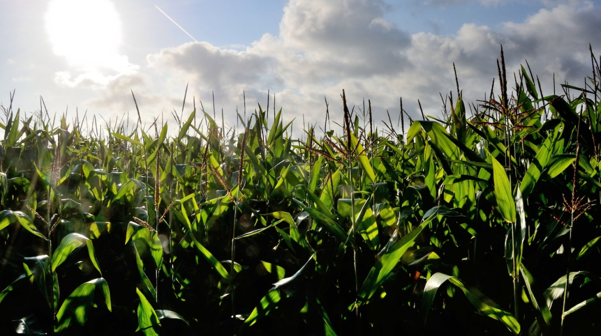 A picture taken on August 22, 2012 in Godewaersvelde, northern France shows a corn field. AFP PHOTO PHILIPPE HUGUEN (Photo credit should read PHILIPPE HUGUEN/AFP/GettyImages)